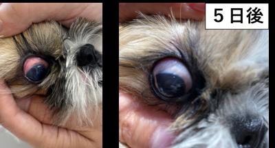 犬の角膜潰瘍2
