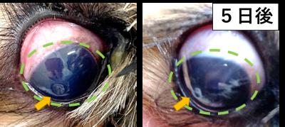 犬の角膜潰瘍3